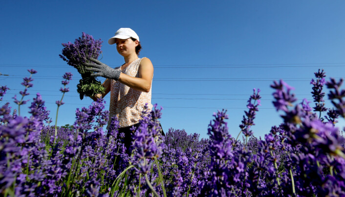 General view of a harvest picker hand cutting the first harvest of lavender at Castle Farm near Sevenoaks in Kent.