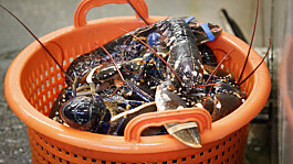 GB News viewers back proposed ban on boiling lobsters alive
