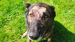 Police dog returns to duty after being stabbed in the head