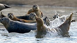 London: Thriving seal population shows Thames is 'full of life'
