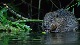 Beavers go wild in Avon catchment for first time in 400 years